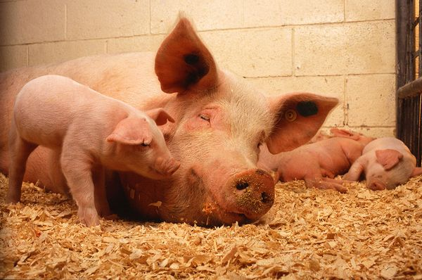 Особенности разведения и содержания свиней