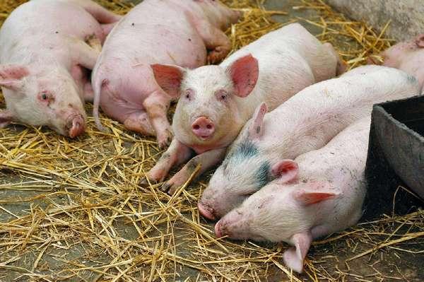 Чума свиней: симптомы, признаки и последствия