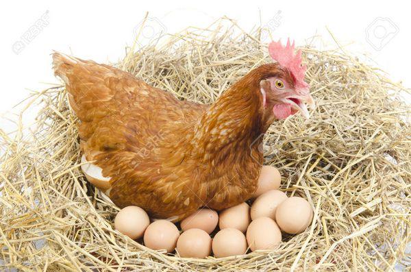 Факторы, влияющие на яйценоскость кур