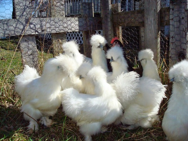 Китайская шёлковая курица: обыкновенное чудо