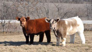 породы коров