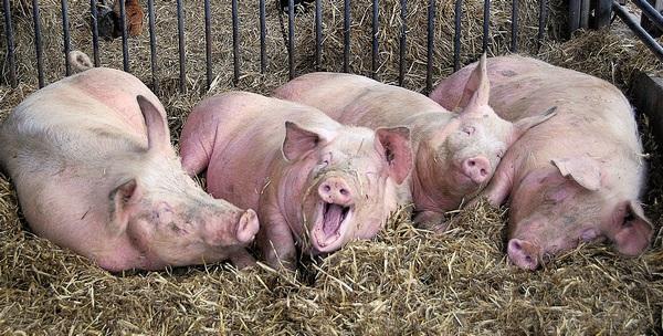 Особенности разведения и содержания свиней в домашних условиях
