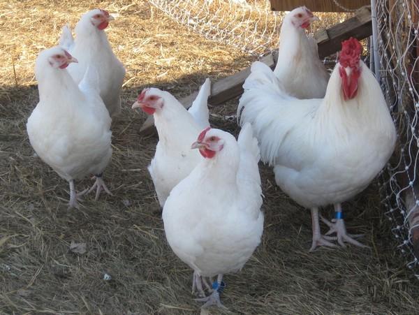 Выбор лучшей породы кур-несушек для фермы