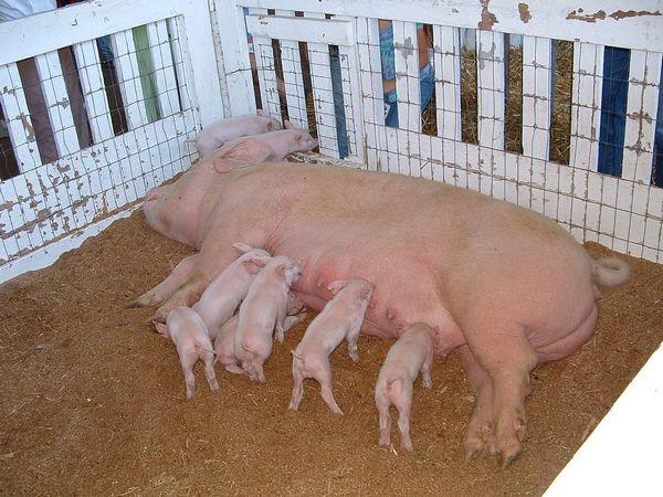 Породы свиней и их основные характеристики