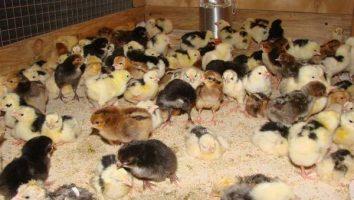 бурдер для цыплят