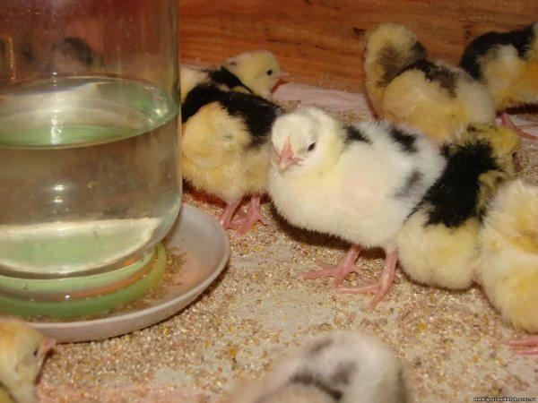 Брудер для цыплят своими руками: назначение и постройка