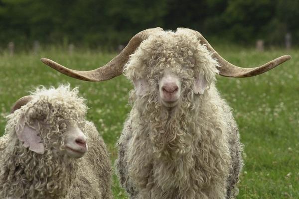 Породы коз: описание и характеристики