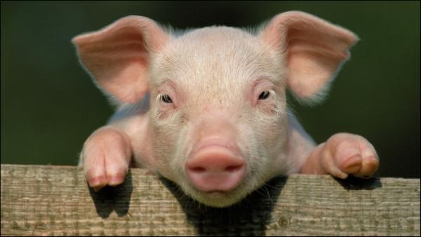 рожа свиней