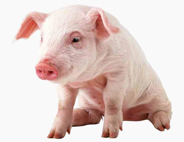 Рожа у свиней: симптомы и лечение болезни