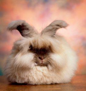 Нежный и пушистый ангорский кролик