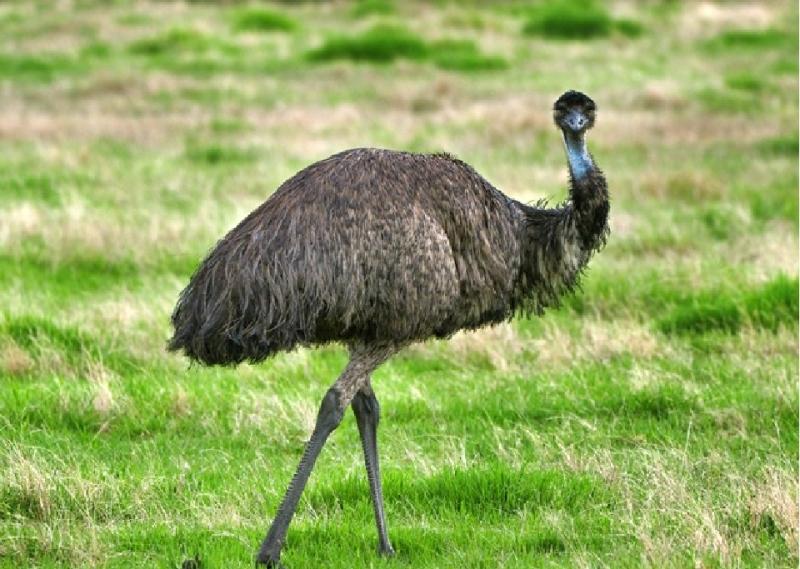 Описание птицы эму, ее отличие от страуса