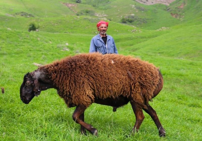 Чем отличается гиссарская порода овец?