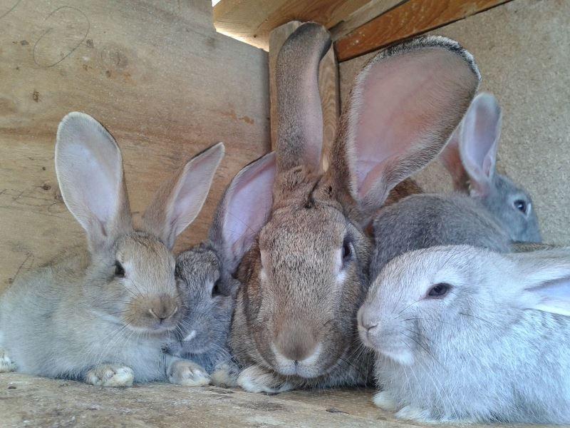 Разведение кроликов мясных пород