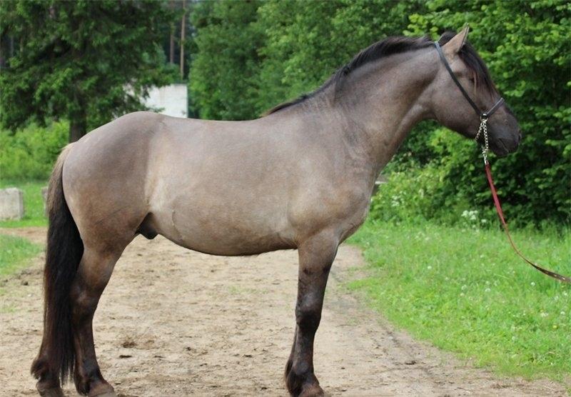 Породистый мышастый конь - это какой?