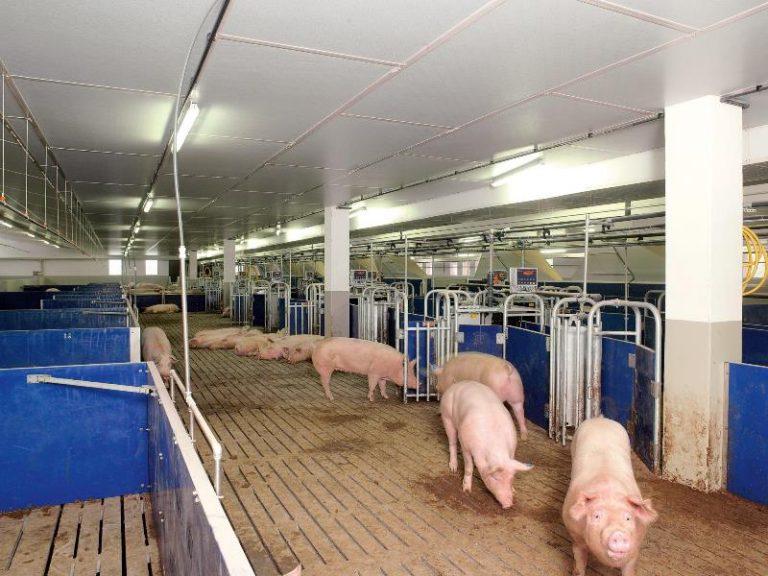 Рентабельность при выращивании свиней 548