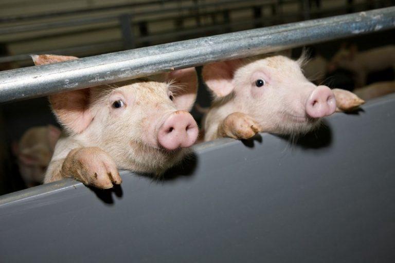 Рентабельность при выращивании свиней 949