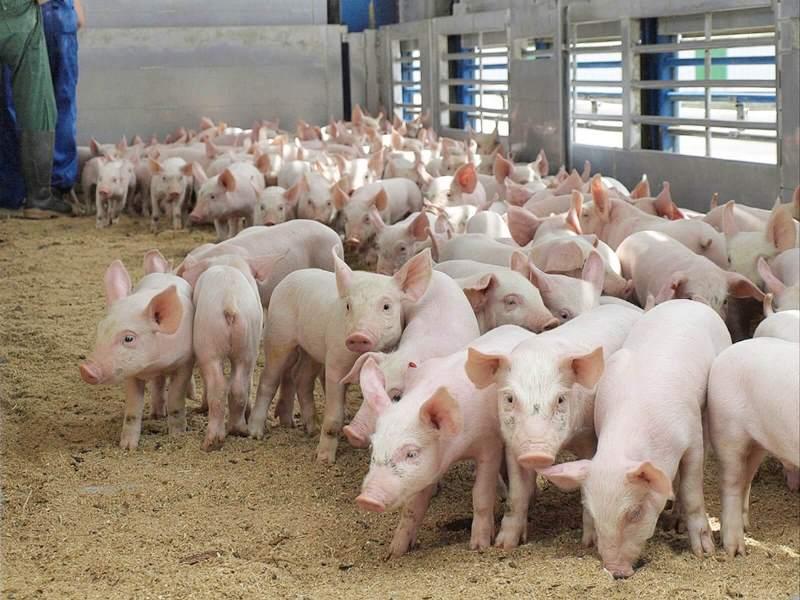 Особенности свиноводства