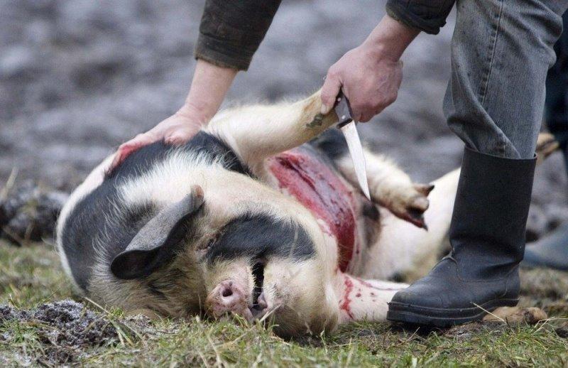 Как самостоятельно зарезать и разделать свинью