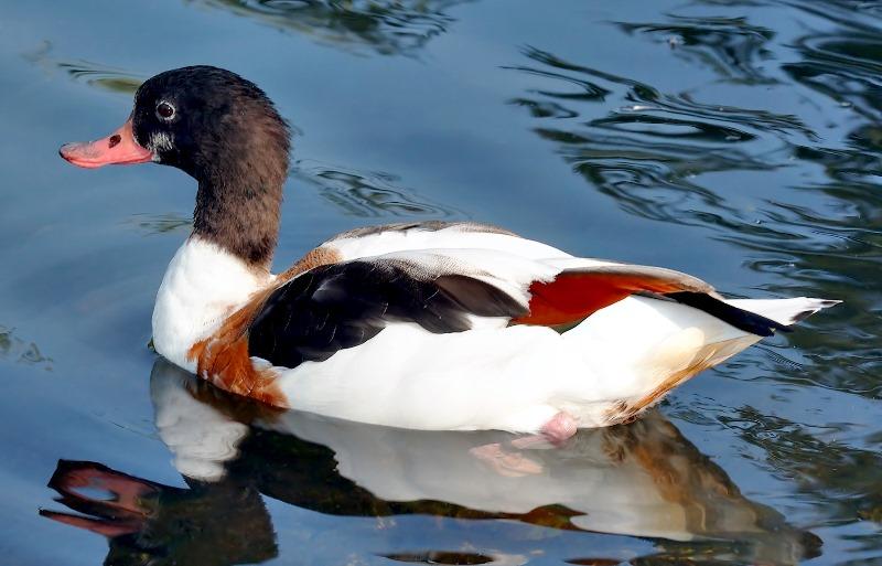 Особенности жизни и среда обитания утки пеганки
