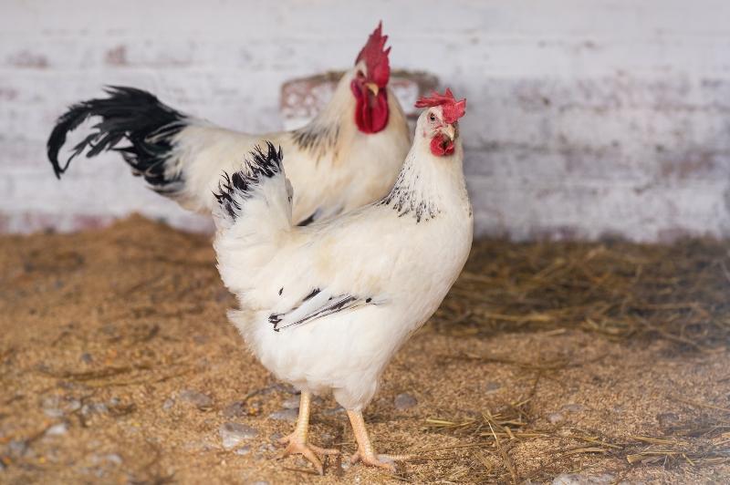 Что отличает адлерскую серебристую породу кур