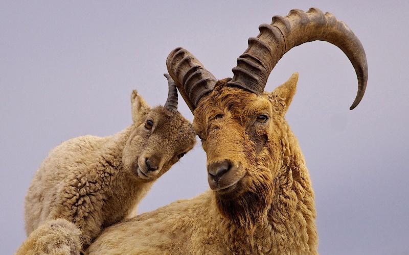 Альпийский козел: история появления, описание и характеристики