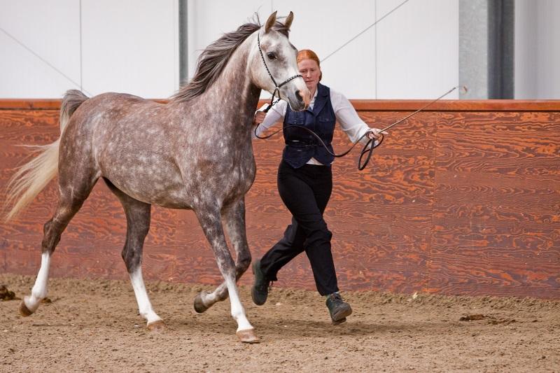 Особенности арабской породы лошадей