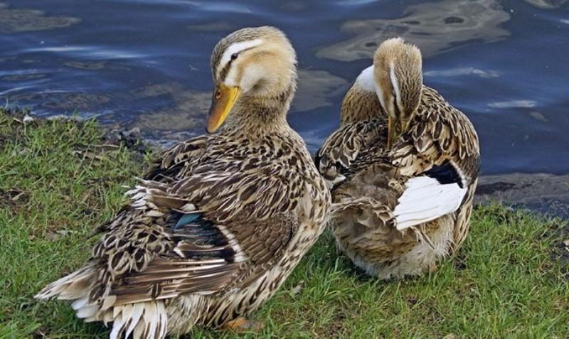 Чем примечательна порода башкирская утка