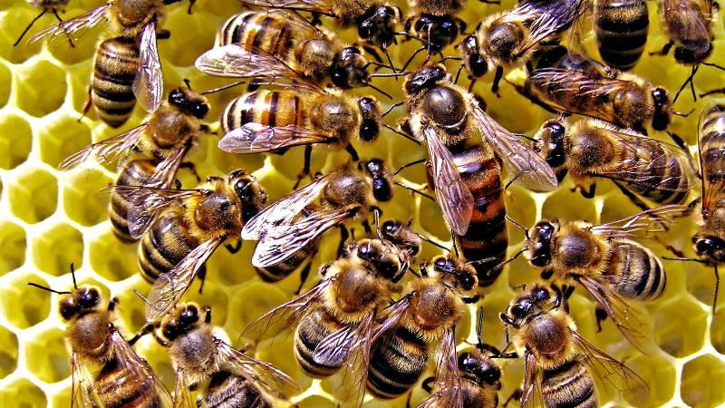 Функции и развитие пчелиной матки