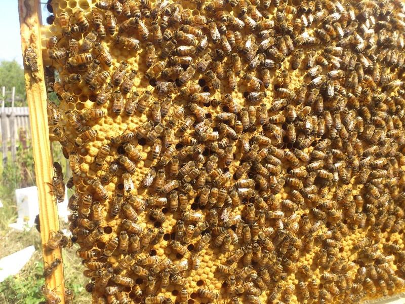 Основные породы пчел