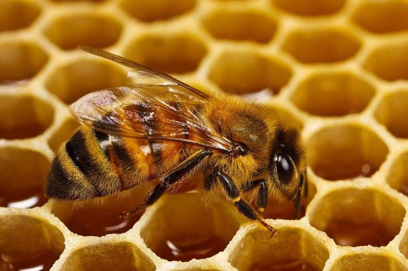 мёд пчёлы картинки