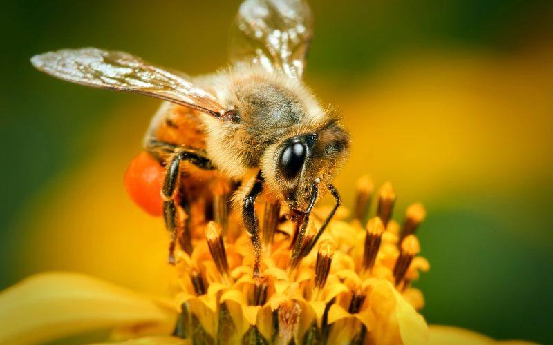Сколько крыльев и ножек у пчелы