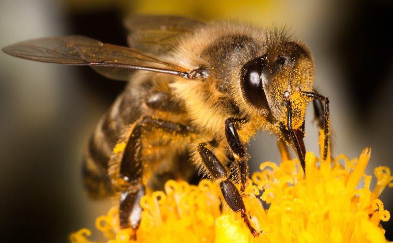 Опасные насекомые: пчелы убийцы и пчелы-тигры