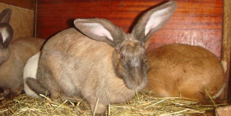 Сколько длится беременность у домашних кроликов
