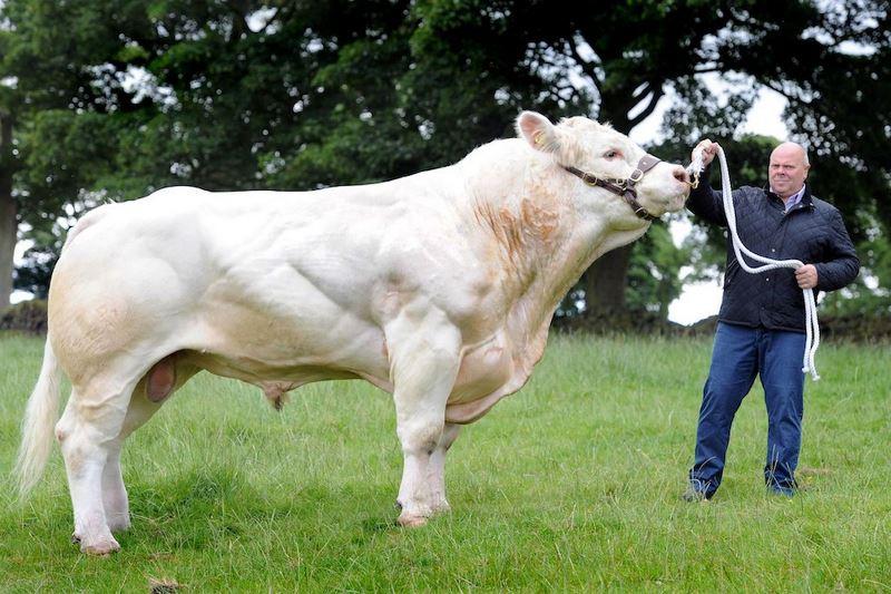 Быки-рекордсмены: самый большой бык в мире