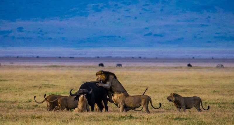 Как живут дикие буйволы?