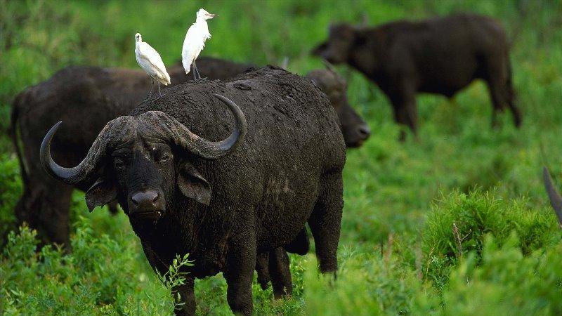 Что представляет собой индийский буйвол?