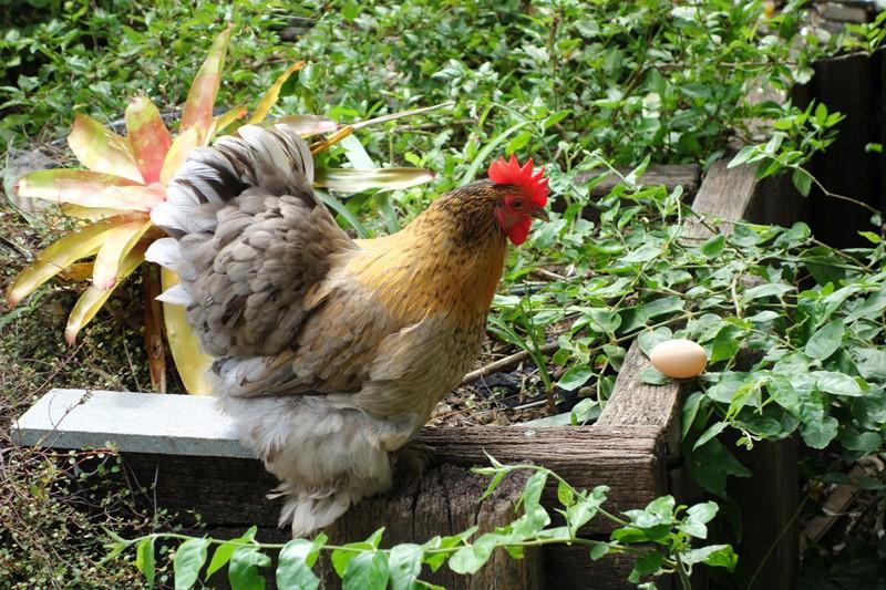 В помощь начинающему птицеводу: когда начинают нестись куры