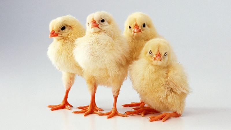 Глисты у кур и цыплят: чем лечить
