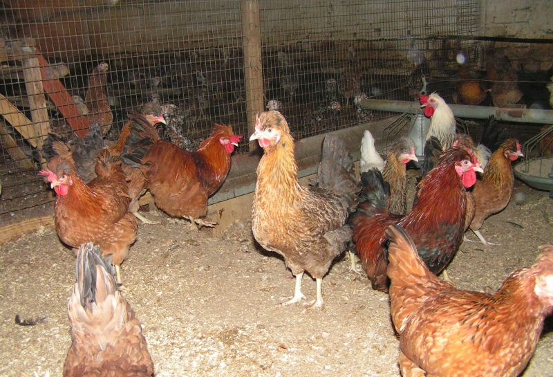 Что представляет собой русская хохлатая порода кур