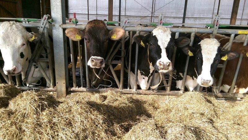 Запуск и отел коровы