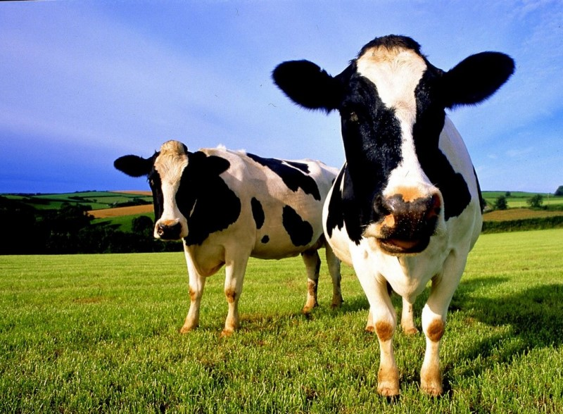 Сколько лет обычно живут коровы?