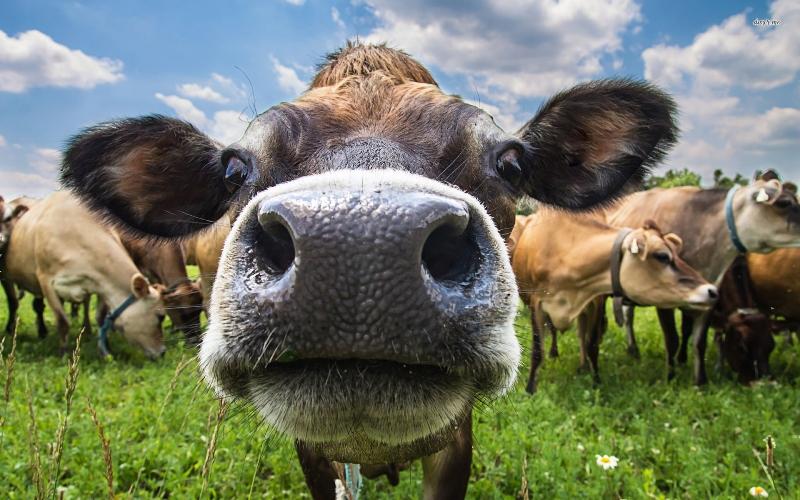 Причины, почему корова мычит