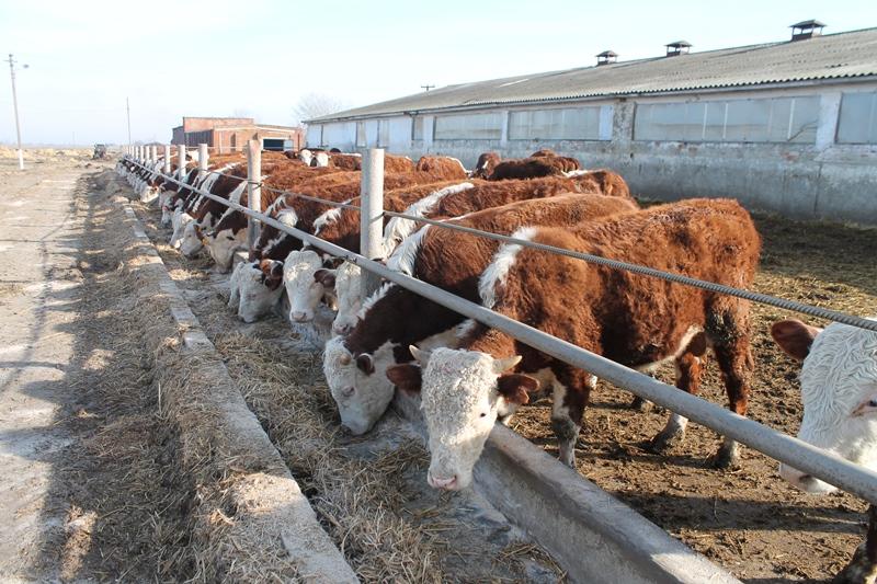 Что представляет собой казахская белоголовая порода коров