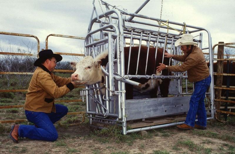 Определение стельности коровы народными средствами