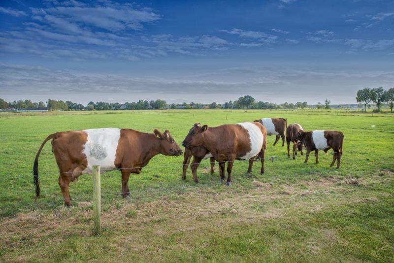Запуск и отел коровы: особенности кормления и содержания