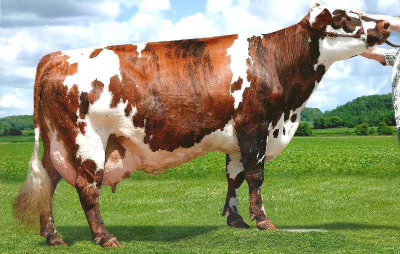 Характеристики ярославской породы коров