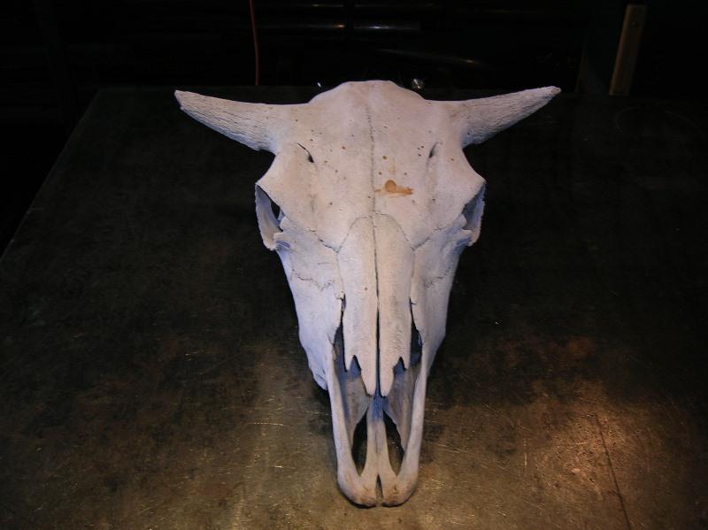 Из чего состоит череп коровы?