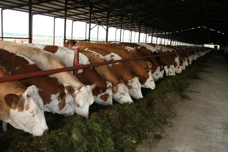 Высокопродуктивная молочная айрширская порода коров