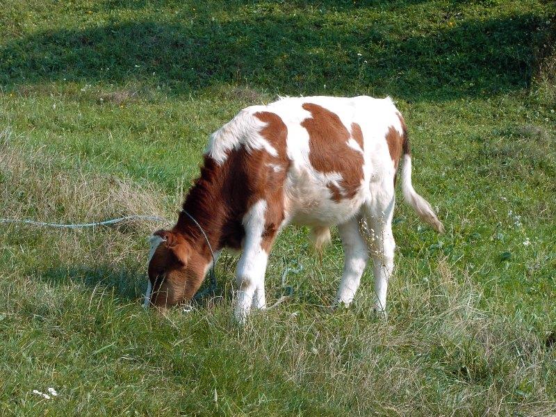 Тимпания у коров: причины и лечение заболевания