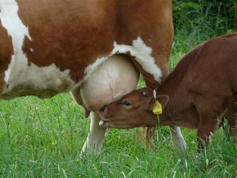 Анатомическое строение и заболевания вымени коровы